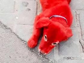 【蜗牛扑克】宠物店为将狗出售 刻意将狗染成鲜红引发关注