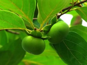 【蜗牛扑克】柿子